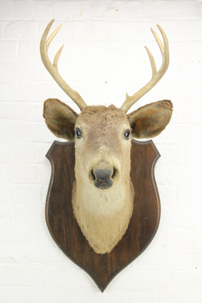 Antique Whitetail Deer 6-Point Buck Taxidermy Mount on Wood Shield