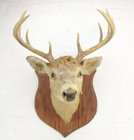 Antique Whitetail Deer 8-Point Buck Taxidermy Mount on Wood Shield