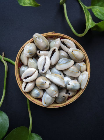 Natural Cowry Shells (25 Pieces)