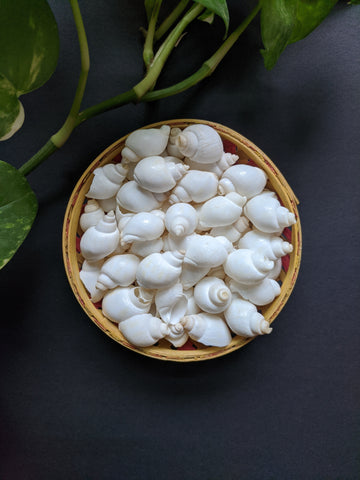 White Conch Sea Shells (25 Pieces)