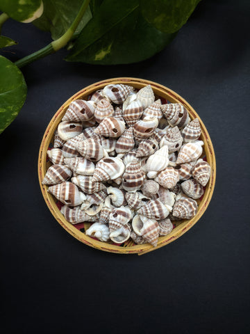 Ribbed Cantharus Sea Shells (50 Pieces)