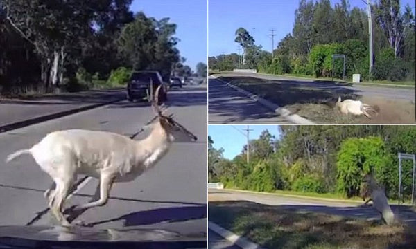 Oh, deer! Dash Camera captures animal flying toward cyclists after being hit by car