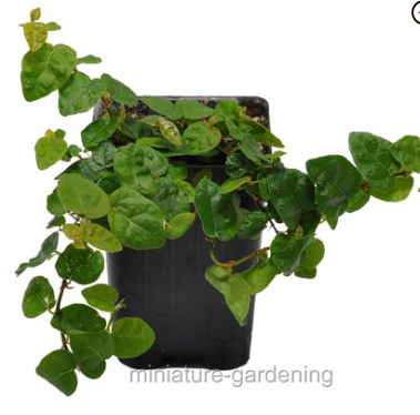 "4"" Creeping Fig Ficus"