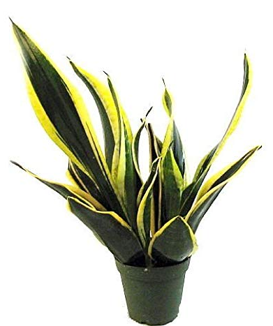 "6"" Sansevieria Black Gold"