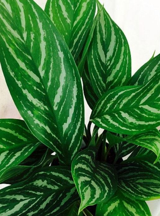 "14"" Chinese Evergreen Stripes"