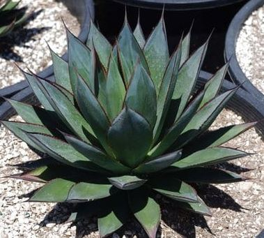 "10"" Agave Blue Glow"