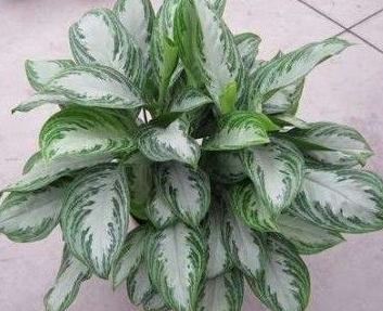 "10"" Chinese Evergreen Silver Bay"