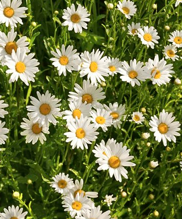 5 Gallon Shasta Daisy