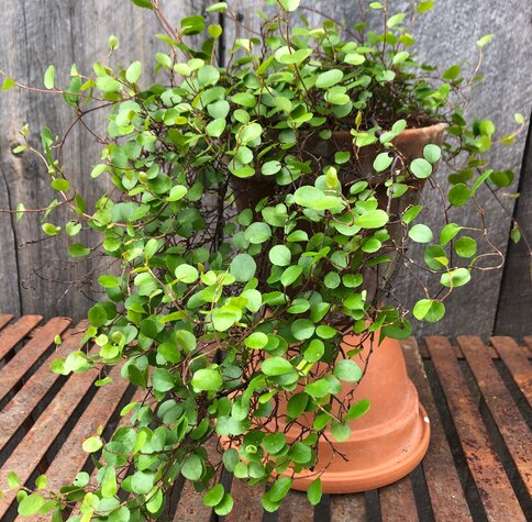 "6"" Angel Creeping Vine"