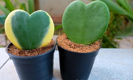 "4"" Hoya Green Heart"