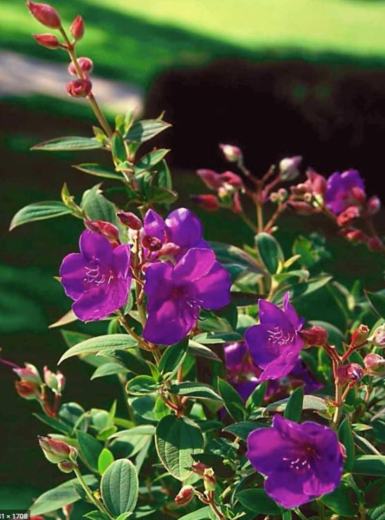 "5 Gallon Tibouchina Urvilleana ""Princess Flower"""