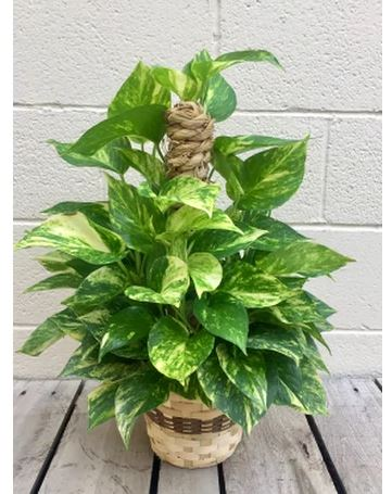 "10"" Green Queen Pothos Pole"