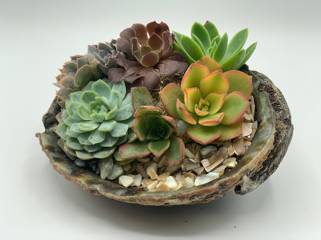 Succulent Arrangement in Abalone Shell - 1