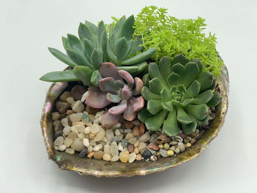 Succulent Arrangement in Abalone Shell - 3