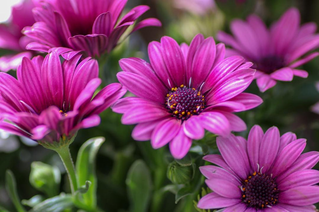 1 Gallon Osteospermum
