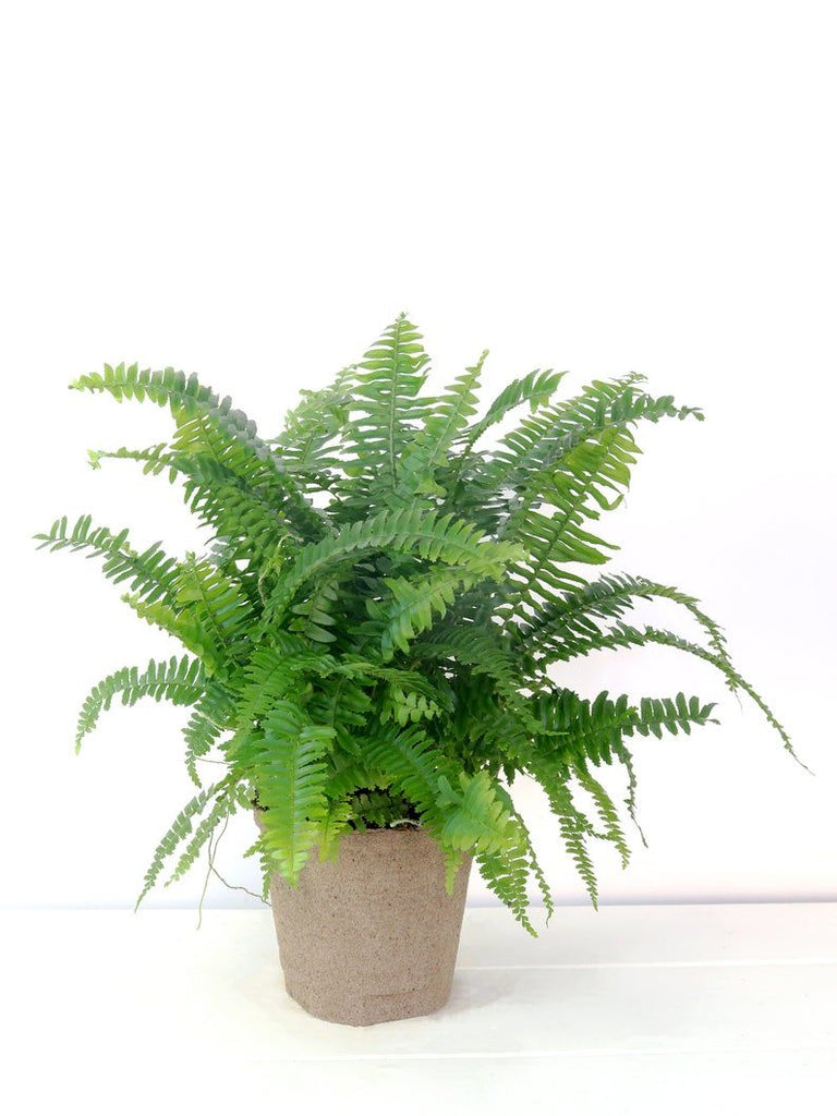 "6"" Boston Chester Fern"