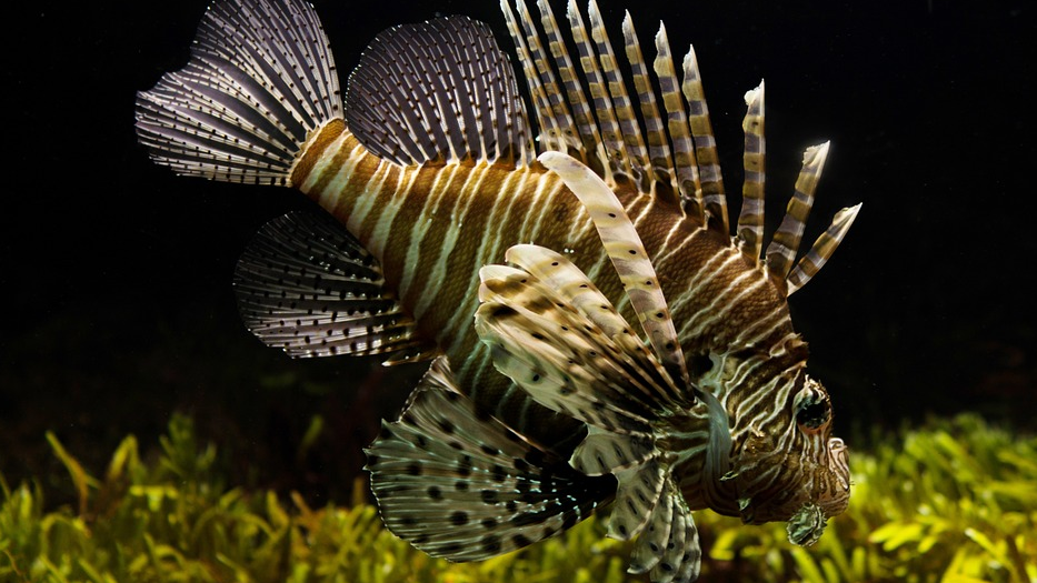 8 of the World's Most Dangerous Fish and Sea Animals lionfish