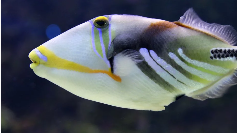 8 of the World's Most Dangerous Fish and Sea Animals triggerfish