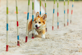 Canine Fitness Month Obstacle Courese