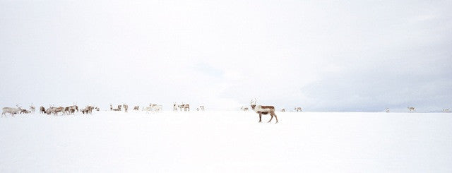 Reindeers in the Distance