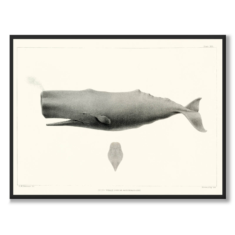 Sperm Whale - Historly AB