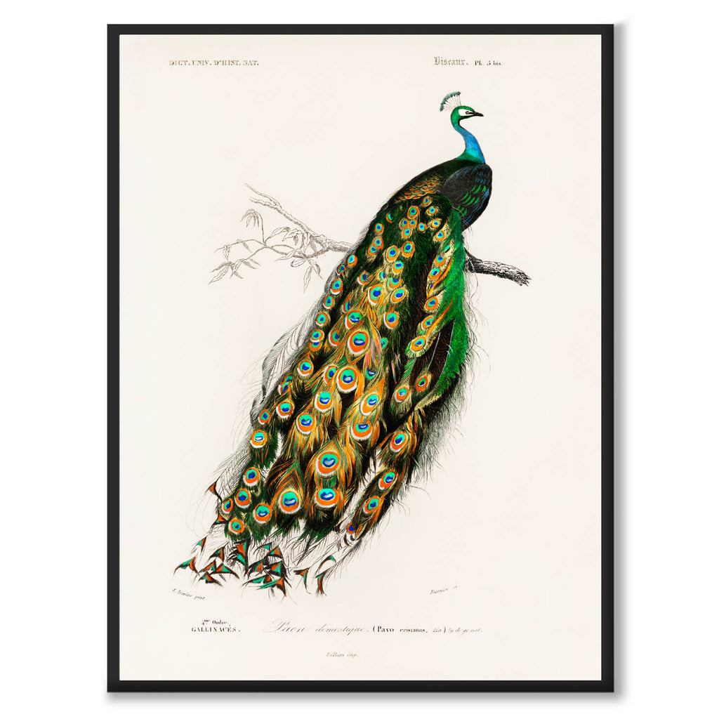 Indian Peafowl - Historly AB