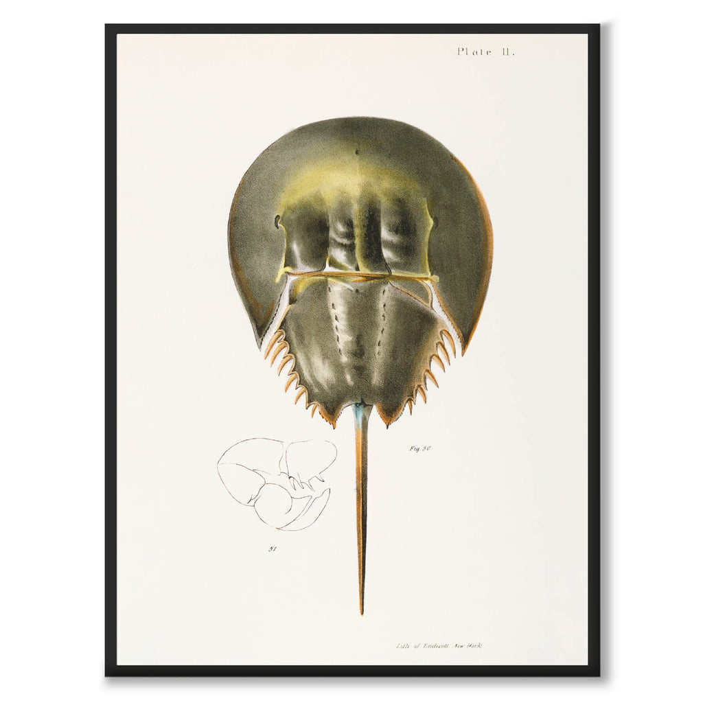 Atlantic Horseshoe Crab - Historly AB