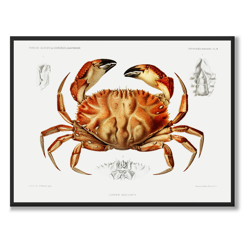 Toothed Rock Crab - Historly AB