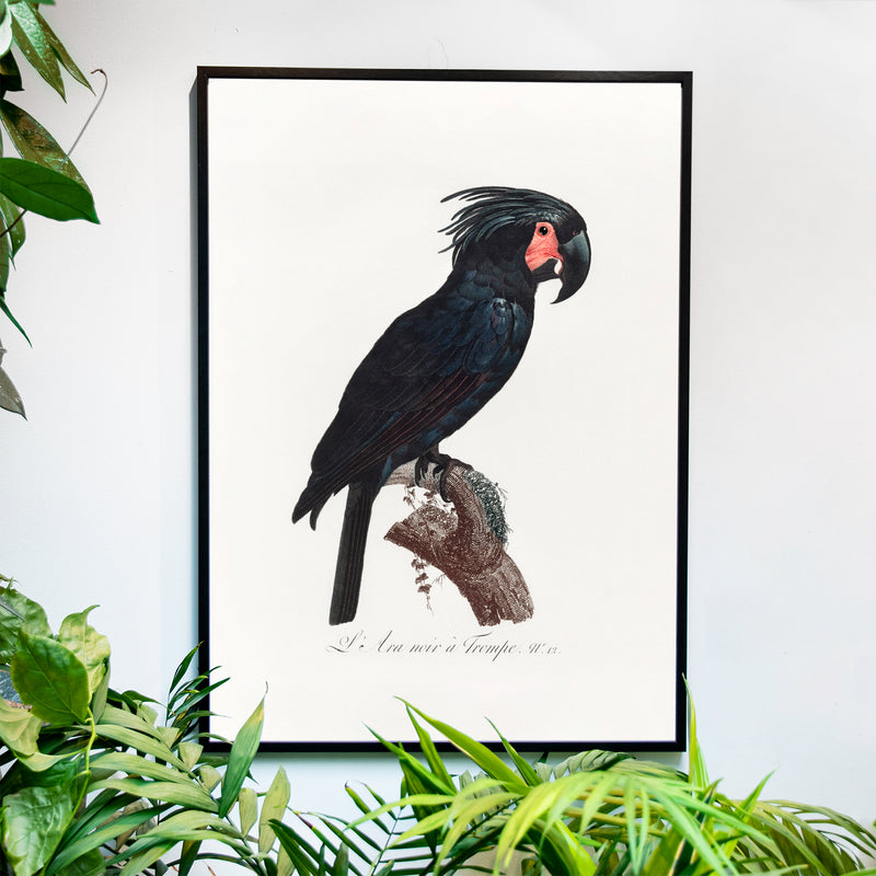 The Palm Cockatoo - Historly AB