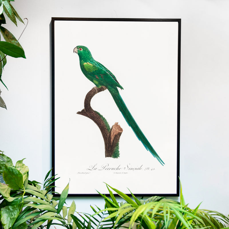 Long-Tailed Parakeet - Historly AB