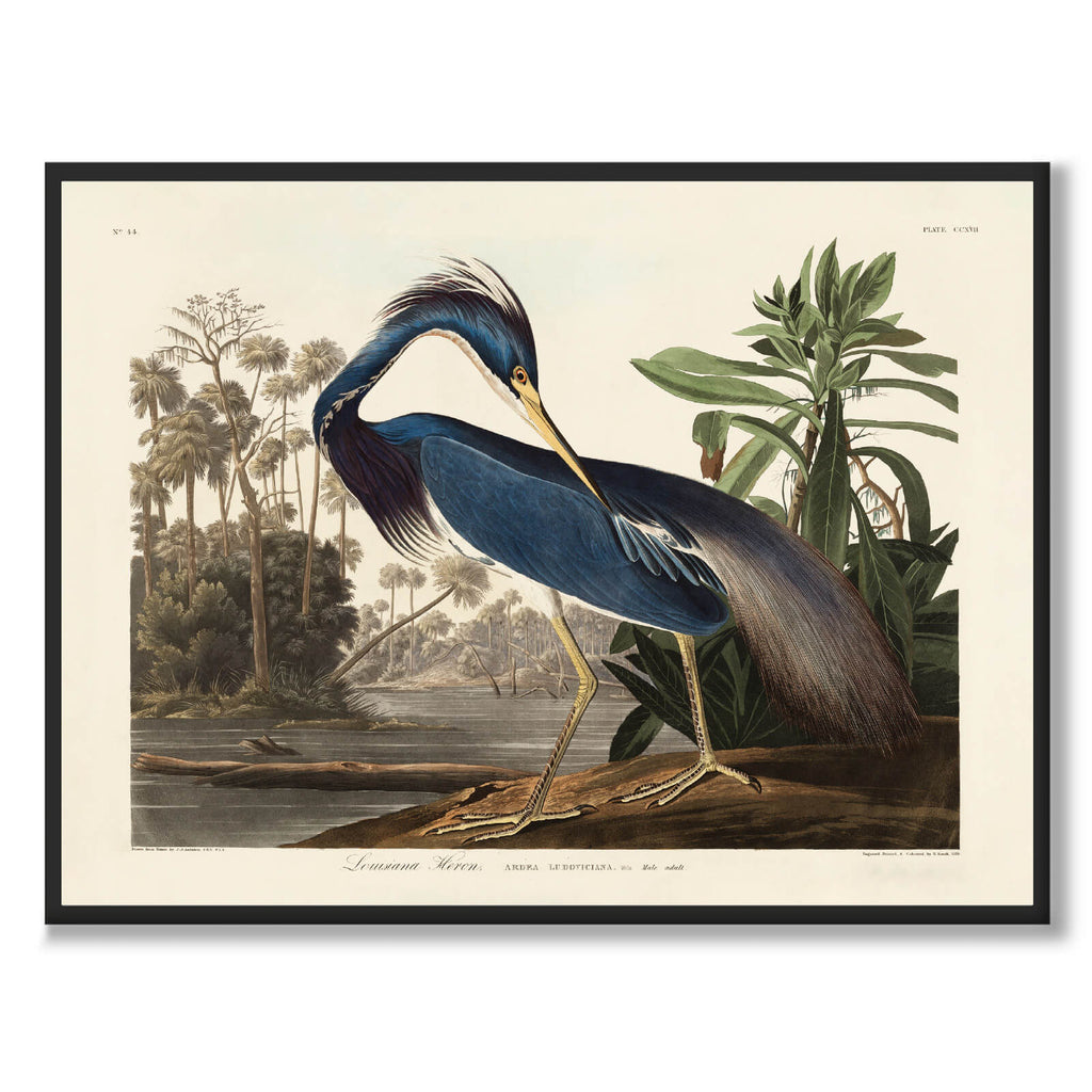 Louisiana Heron - Historly AB
