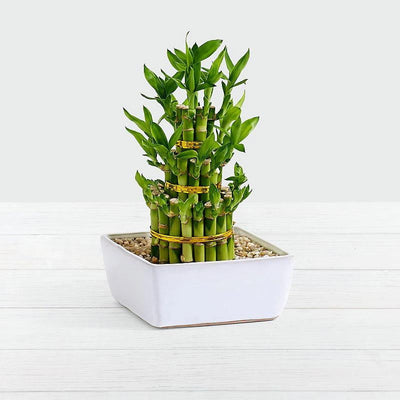 Lucky Bamboo 3 Layers