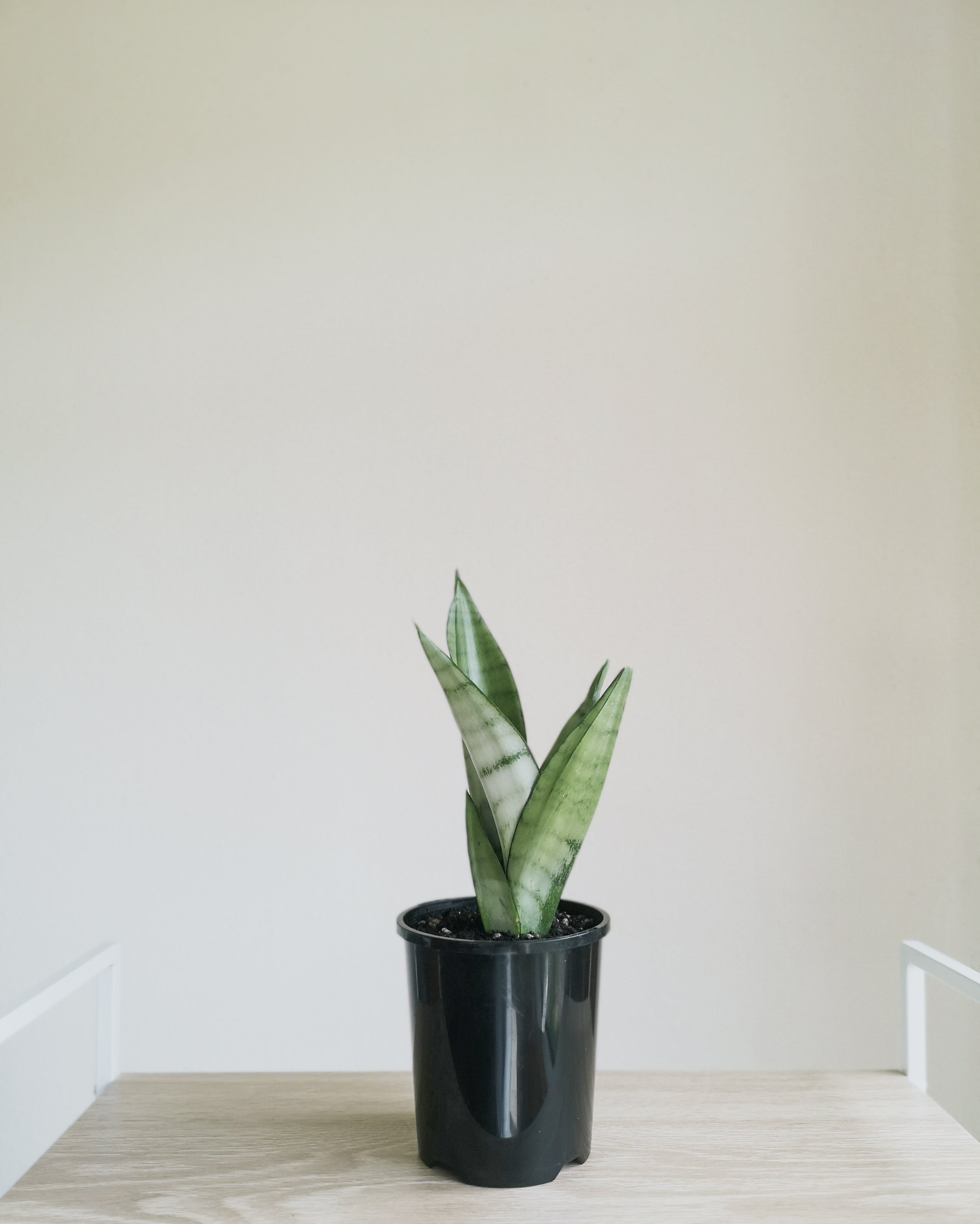 Sansevieria Moonshine Mini