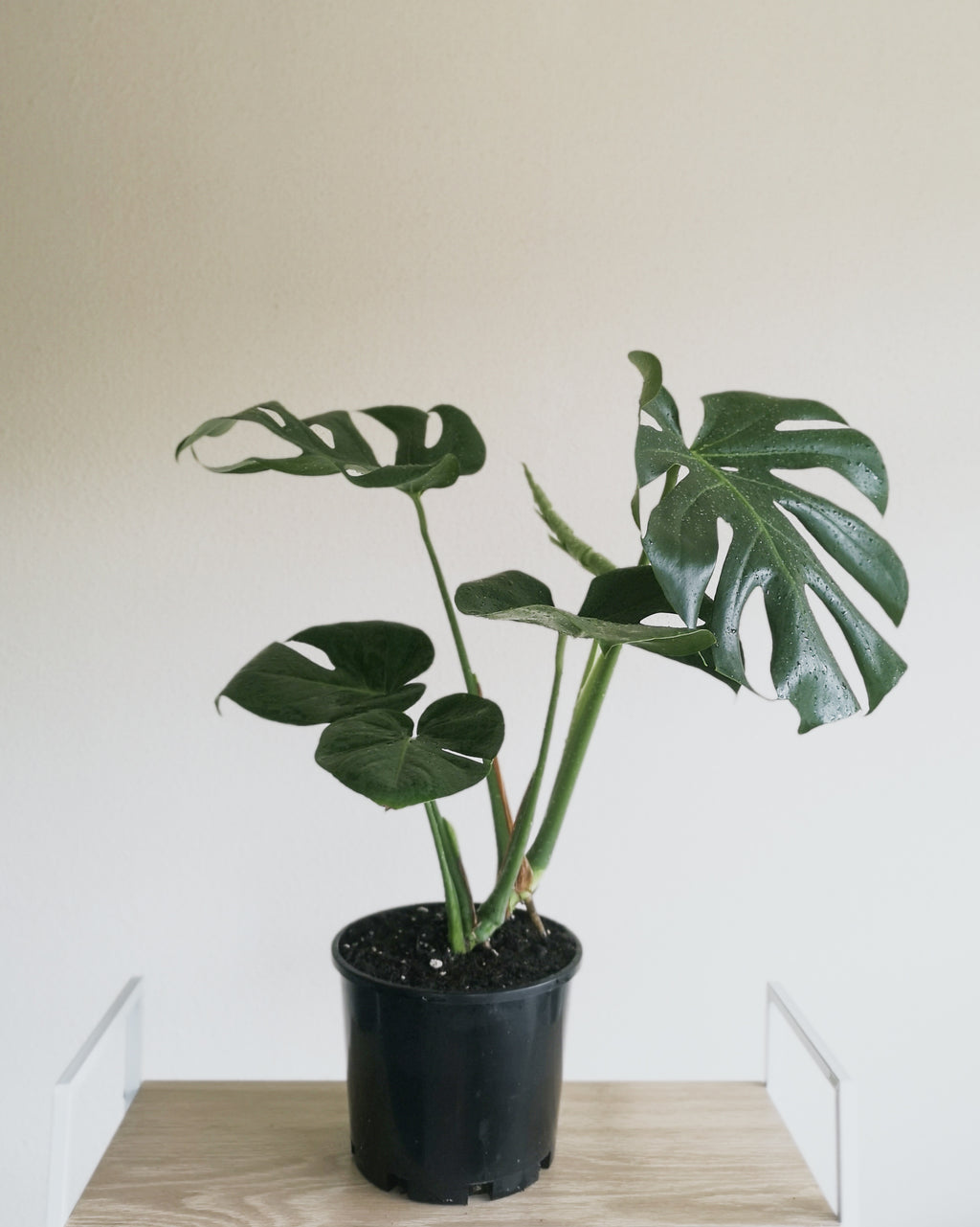 Monstera Deliciosa Medium