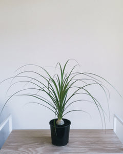 Ponytail Palm Small