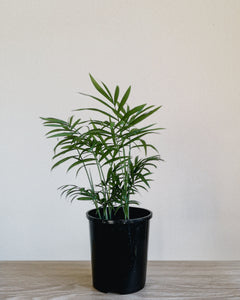 Parlour Palm - Small