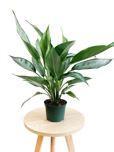 Aglaonema Emerald Bay - 6""