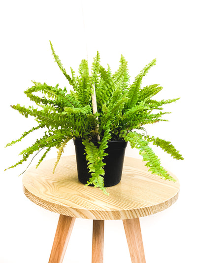Boston Fern 'Compacta' - 6""