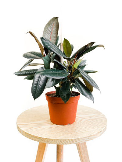 Rubber Tree - 6""