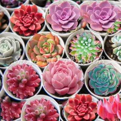 Exotic Mini Succulent Cactus Rare Succulent Perennial Herb Plants Bonsai Pot Flower Indoor for Garden Flore Pot 500 pcs/ bag