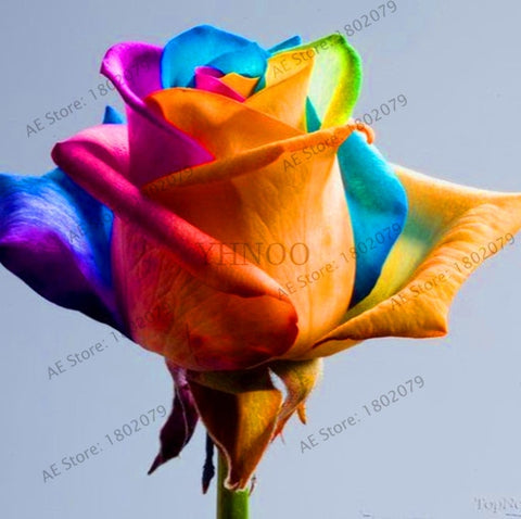 New 200pcs/bag rare mixed COLORS rose garden rainbow rose flores bonsai flower plantas black rose rare balcony plant