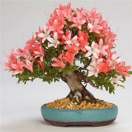 New Arrival  5pcs  Cerasus sp. bonsais Cherry blossoms  Perennial Flower bonsais for Garden in Bonsai