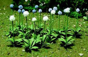 "JTT Scenery Products 95596 - HO Scale - Allium Gigateum 1/2"" 30pk"