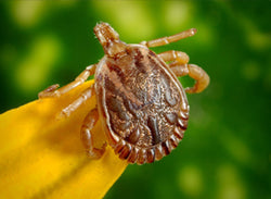 Tick Bite Prevention and Response