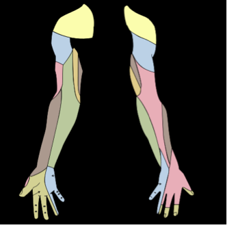 Ulnar Nerve Sensory Supply to the hand