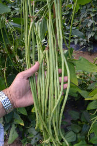 Yard long bean green-8 plants-May