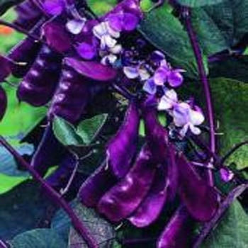 Hyacinth bean purple-4 plants-May