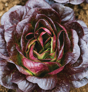Lettuce mix 6 varieties -6 plants-Mar-Apr