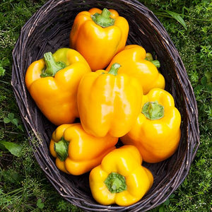Bell pepper-3 varieties -6 plants-May