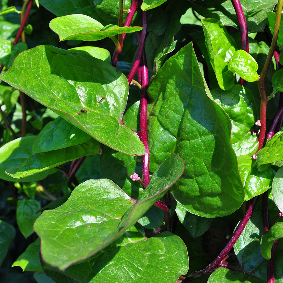 Malabar Spinach-4 plants-May